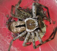 Mother Huntsman Spider by Vanessa Barklay