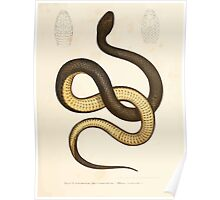 Leopold Joseph Fitzinger 1867 0105 Picture Atlas for popular scientific natural history of vertebrates Poster