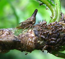 Mother Membracidae Treehopper & Nymph by Vanessa Barklay