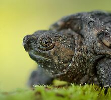 Baby Snapping Turtle close-up. by Daniel Cadieux