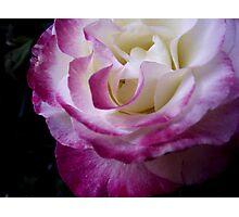 Double Delight - Rose Photographic Print