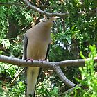 Mourning  Dove coo by MarianBendeth