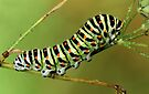 Papilio caterpillar by jimmy hoffman