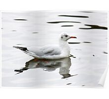 Black- headed gull in winter plumage Poster