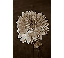 Sepia Flower Photographic Print