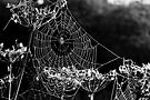 Dewy spiders' webs by David Isaacson