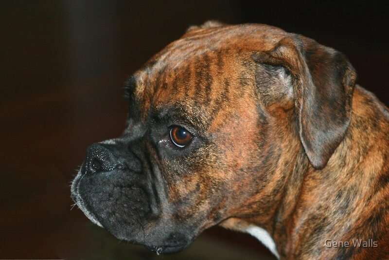 Boxer Puppy Pictures And Information Puppy Pictures And ...