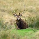 Stag - Glencoe, Scotland  by dawnandchris