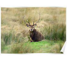 Stag - Glencoe, Scotland  Poster