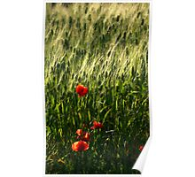 Poppies in Puglia Italy Poster