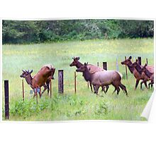 Herd of Elk Leaping - Western Oregon Poster
