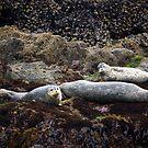 Harbor Seals Basking - Oregon Coast by Randall Ingalls