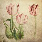 Tulips by Dominika Aniola