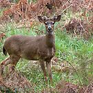 Black-tailed Buck Growing Antlers - Western Oregon by Randall Ingalls