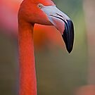 Flamingo Portrait - Sacramento Zoo by Randall Ingalls