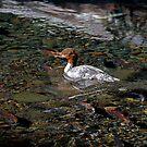 Merganser & Spawning Salmon - Odell Lake Oregon by Randall Ingalls