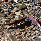 Spawning Salmon - Odell Lake Oregon by Randall Ingalls