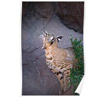 Curious Bobcat - ASDM Tucson Arizona Poster