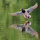 Mallard Drake Landing by Randall Ingalls