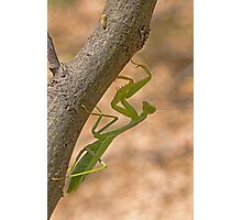 Praying Mantis on the Hunt Photographic Print