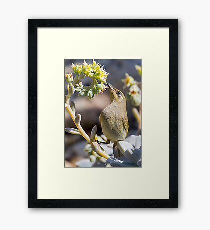 Brown Honeyeater Framed Print