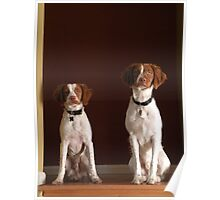 Portrait of Two Beautiful Britney Spaniel Pups Poster