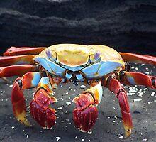 Galapagos Crab by Nina Brandin