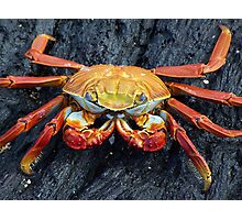 Galapagos Crab Photographic Print