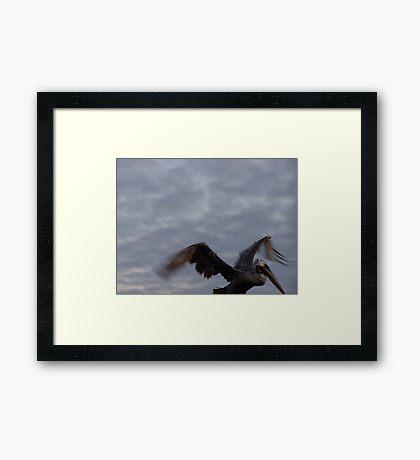 Galapagos Pelican Framed Print