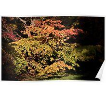 Autumn Acer tree Poster