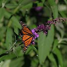 A lovely female Monarch Butterfly....... by DonnaMoore