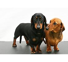 Miniature smooth dachshunds Photographic Print