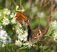 Painted Lady & Common Buckey Butterflies by Terry Aldhizer