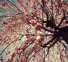 Cherry Blossoms by Rachel  Murray