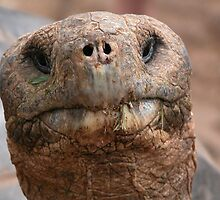 Giant Galapagos Tortoise - Galapagos by Nina Brandin