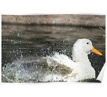 White duck splashing water Poster