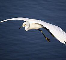 Snowy Egret in Flight by Paulette1021