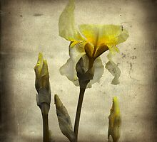 Vintage Iris by gothicolors