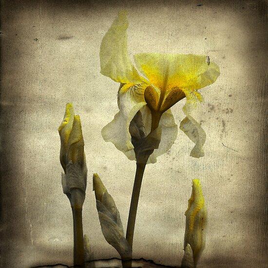 Vintage Iris by gothicolors