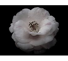 Camellia Dream Photographic Print