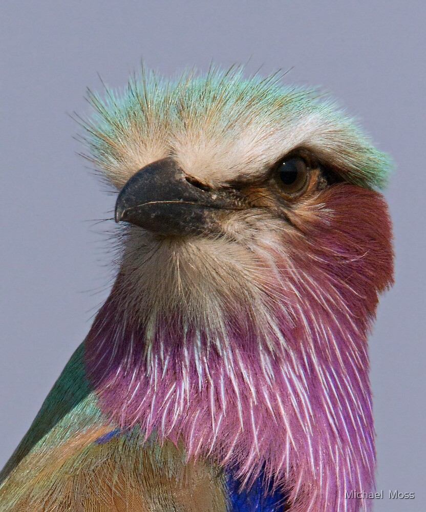 Lilac Breasted Roller Close Up  by Michael  Moss