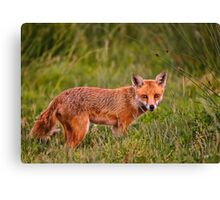 British Red Fox Canvas Print
