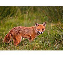 British Red Fox Photographic Print