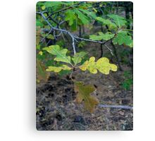 Leaves of Oak Canvas Print