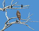 King Redtail by Arla M. Ruggles