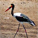 SADDLE-BILLED STORK  -  Ephippiorhynchus senegalesis by Magaret Meintjes