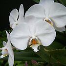 White Orchids by Diane Rodriguez