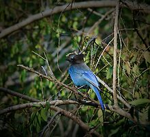 Stellars Jay by ChrisCouse