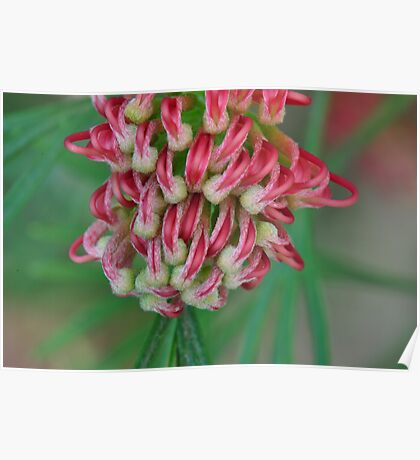 Toffee Apple Grevillea Paws Poster
