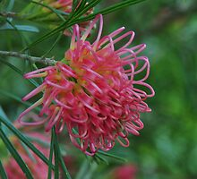 Grevillea Pink Ribbons by MissyD